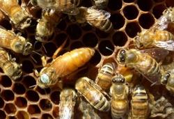 Пчеломатка Итальянка (май)