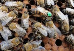 Пчеломатка Карника (май)