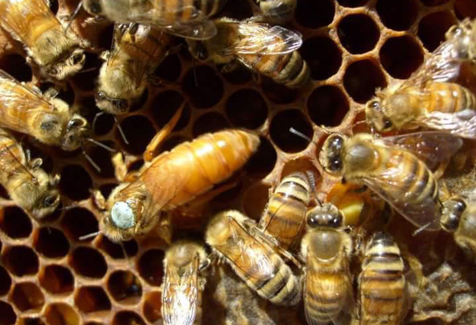 Пчеломатка Итальянка (июль)