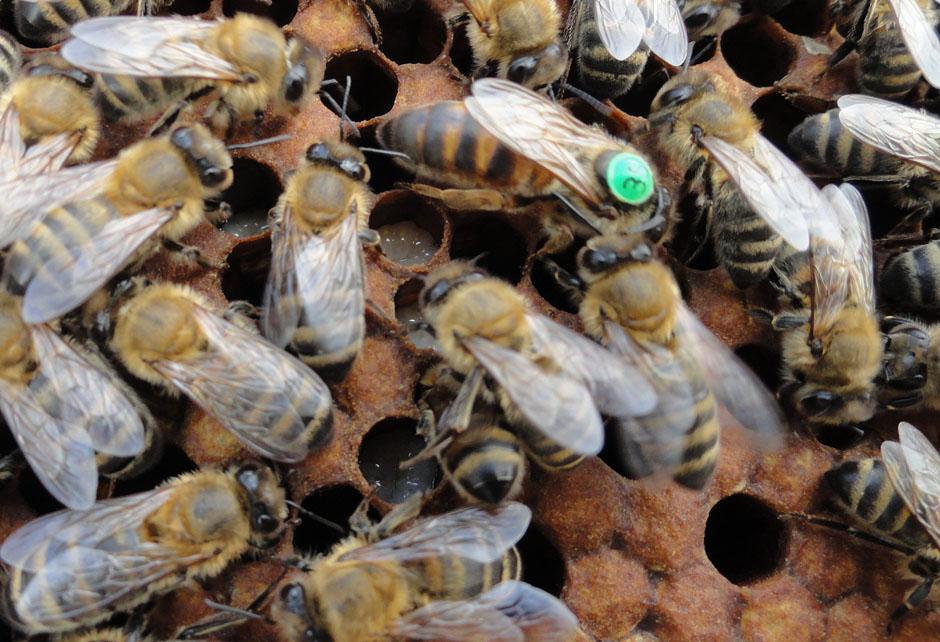 Пчеломатка Карника (июнь)
