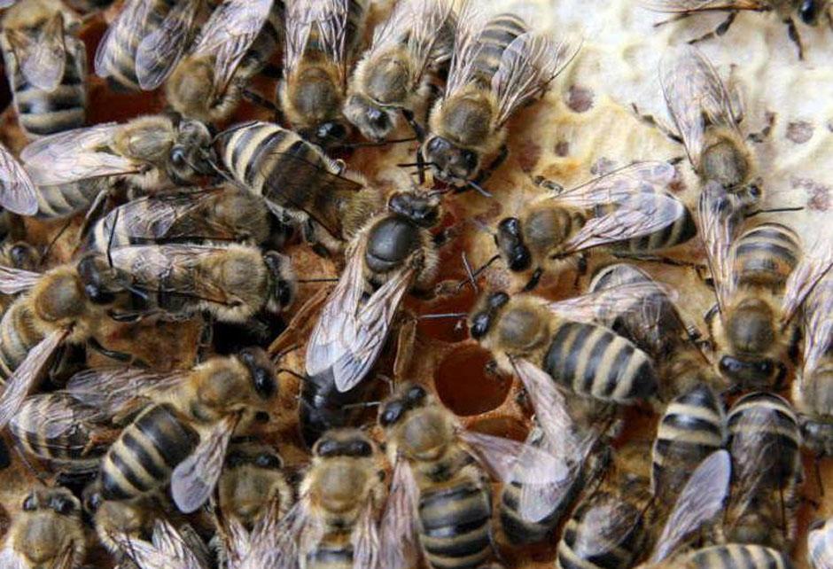 Пчеломатка Карпатка (июль)
